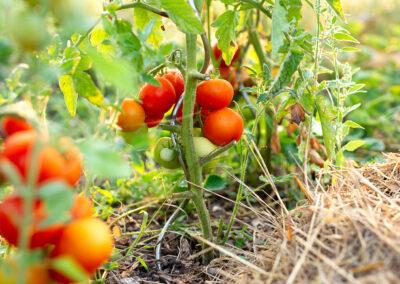 Eigene Freiland Tomaten